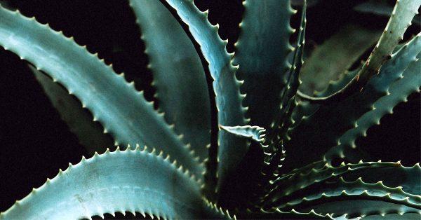 Aloe Vera Closeup